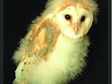 Sidebar 2 Become An Owlet