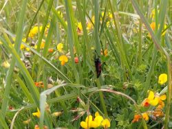 Six Spot Burnet moth 08062020