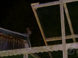 Tawny Owl Rehab Release Porridge May 2015 (4)