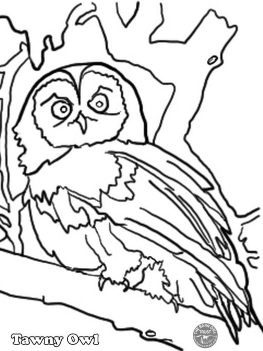 Tawny Owl Colouring Page