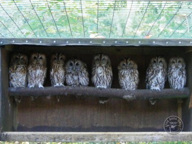 Tawny Owls From Three Owls Sanctuary