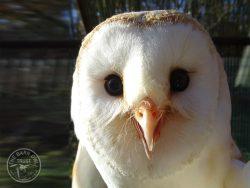Tyrion - adopt a barn owl