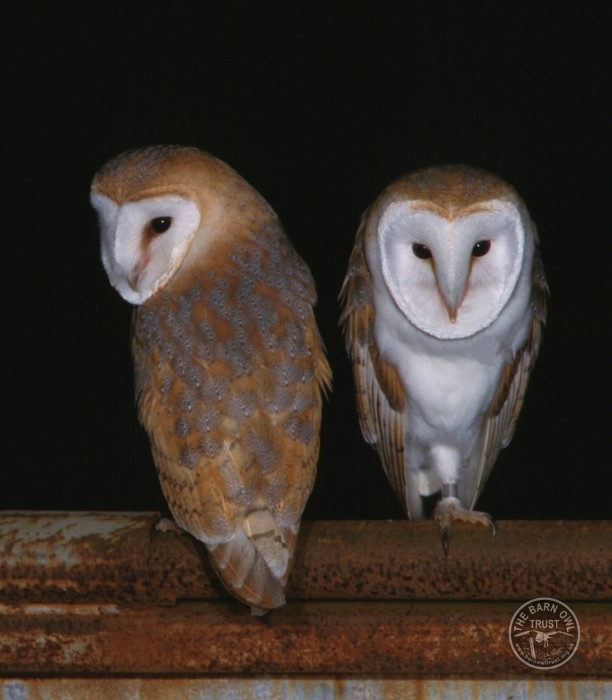 Uk owl species barn owl kevin keatley