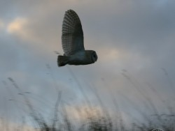 UK Owl Species Barn Owl Nick Sampford