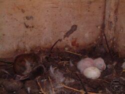 Vole cycle field vole barn owl nest