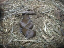 Vole cycle field vole nest young