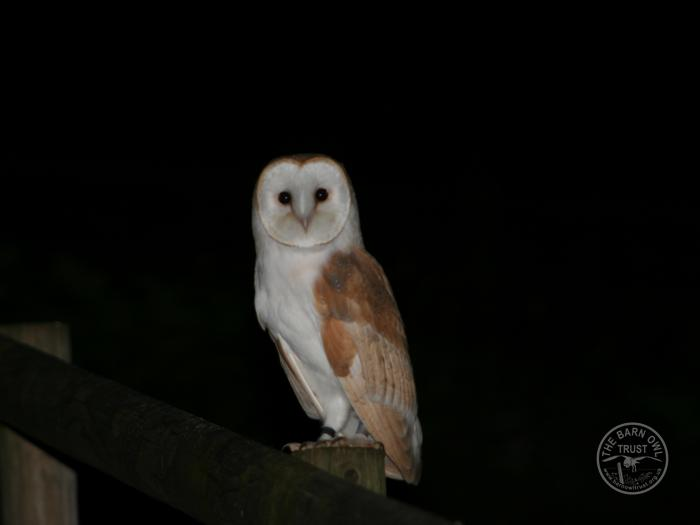 LLP wild Barn Owl perched at night