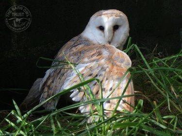 Willow Owl Adoption