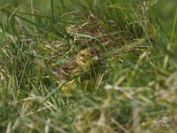 Yellowhammer In The LLP Wildlife Diary March 2020