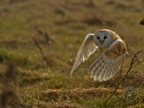Barn Owl plumage is camouflage [Russell Savory]