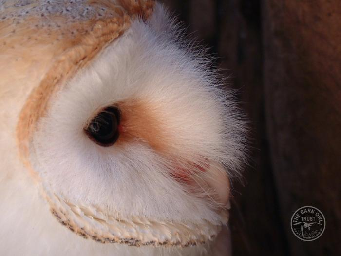 Barn Owl eyes and the facial disk [Melanie Lindenthal]
