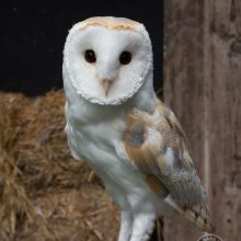 Adopt a Barn Owl - Baley