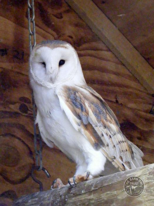 Barn Owl Trust Barney