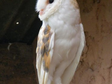 Barn Owl Trust Earnest