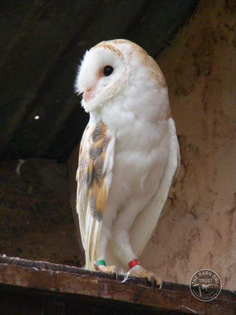 Barn Owl Trust Earnest