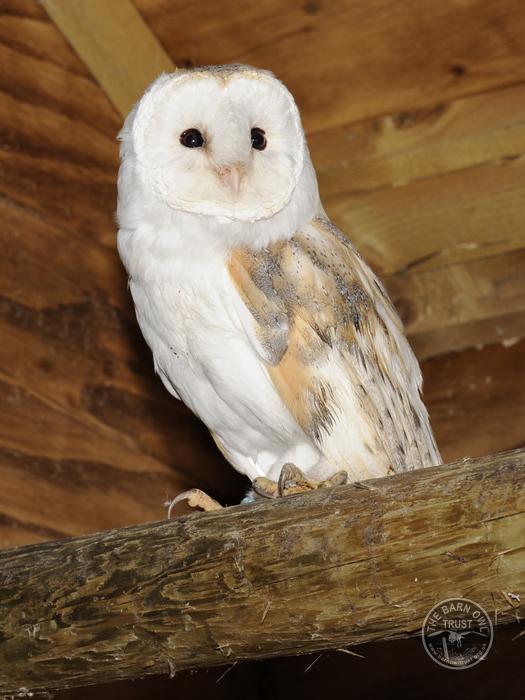 Adopt A Barn Owl With A Regular Donation Barn Owl Trust