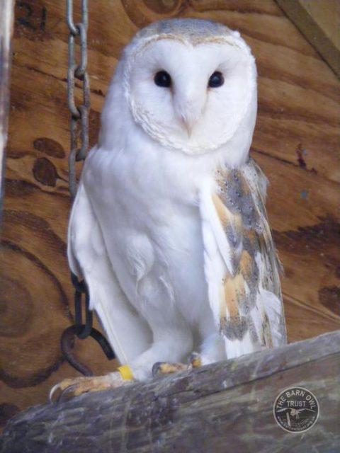 Barn Owl Trust Grace