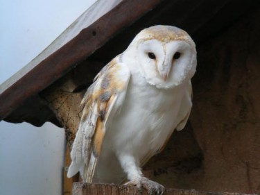 Barn Owl Trust Hazel