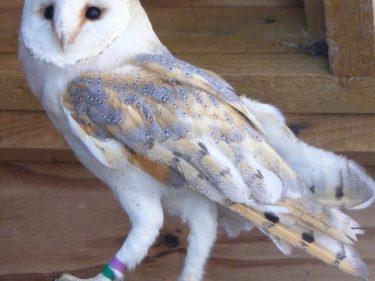 Adopt a Barn Owl Joanna