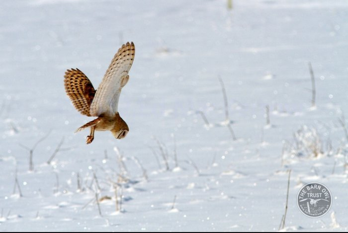 American Barn Owl Diving Into Snow Ed Mackerrow