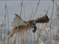 American Barn Owl Flying With Prey Ed Mackerrow