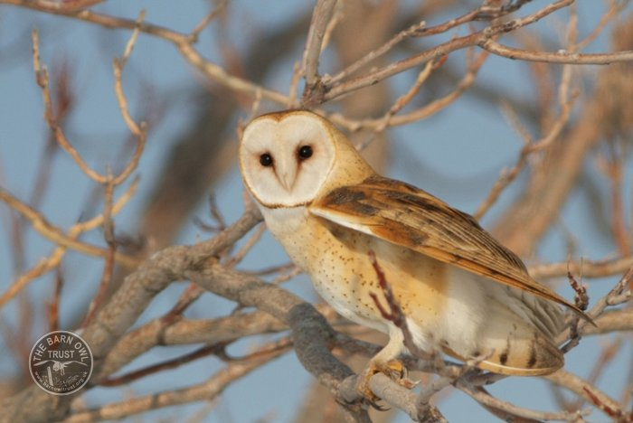 American Barn Owl Perched In Tree Ed Mackerrow