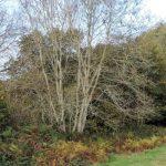 Ash Tree Dieback