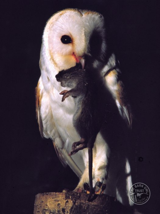 Background to the rat poison problem the barn owl trust for Food bar owl