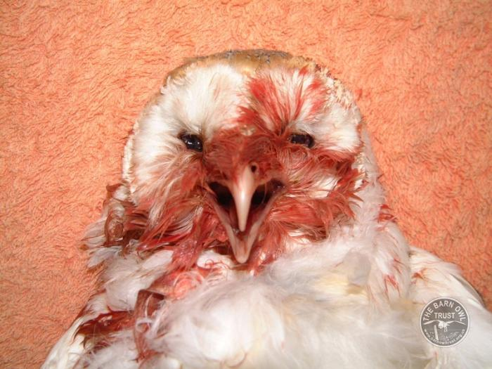 Background to the rat poison problem - The Barn Owl Trust