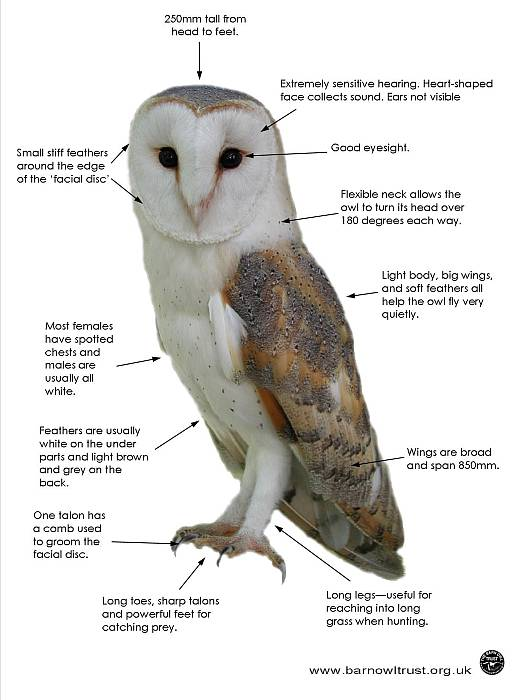 a comparison of the feeding habits of barn owls and screech owls Developed, and owls have no crop at all, only a simple enlargement of the   body-size differences, species such as falcons, which  in great horned owls on  a mouse diet, these  significant in understanding owl behavior, and an esti-   barn owl 6 chick 262 283 108 14 eastern screech owl (megascops asio) 4.
