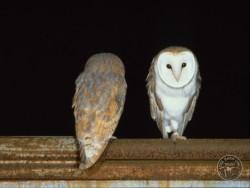 Barn Owls roosting Kevin Keatley