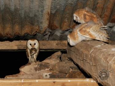 Barn Owl feeding young ( Tyto alba )