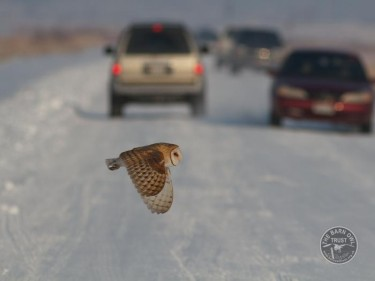 barn_owl_crossing_road_ed_mackerrow