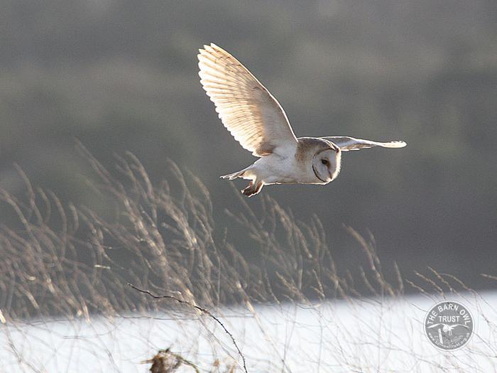 Barn Owl facts -  Barn Owls in winter
