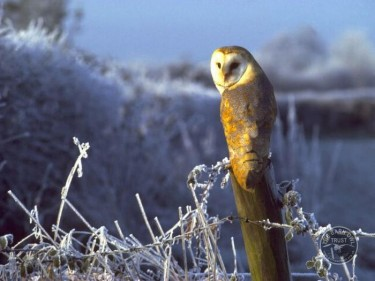 barn_owl_perched_in_frost_mike_reid