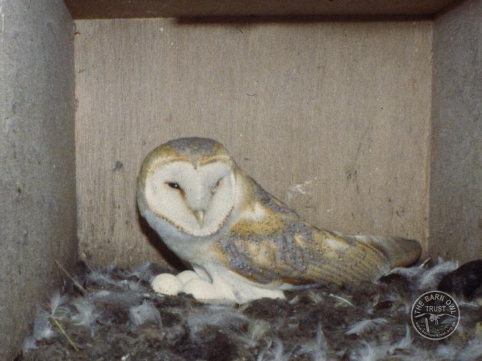Barn Owls in spring - nesting - The Barn Owl Trust