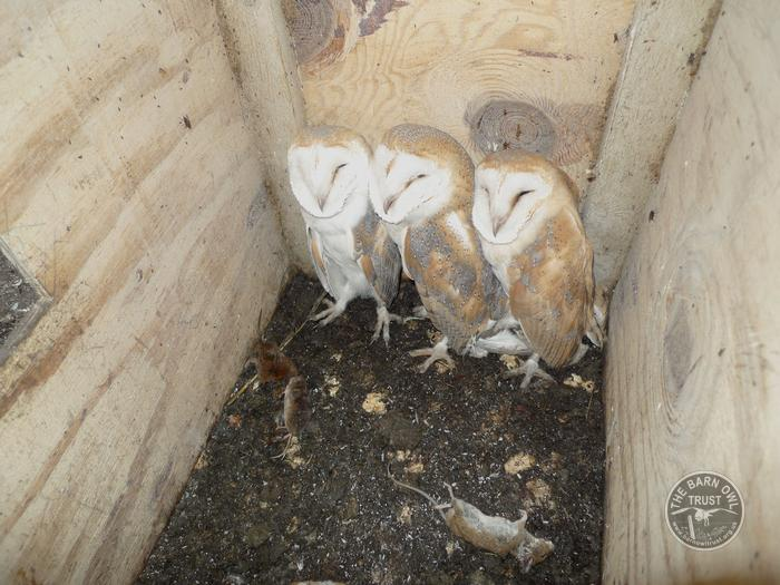 barn_owl_young_in_nest
