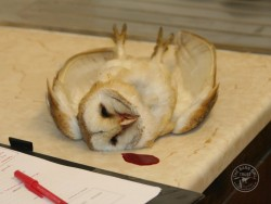 Campaigns Barn Owl Trust Rodenticide Deaths