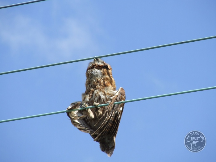 Barn Owl Hazards: Electrocution and wires - The Barn Owl Trust