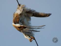 Electrocution Wires Barn Owl