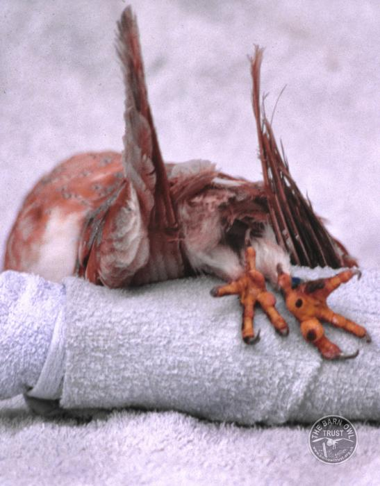 Electrocuted dead Barn Owl with burnt feet