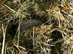 Field Vole Holes Nest 2