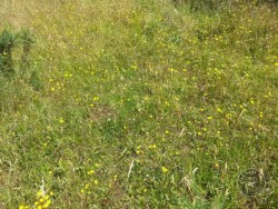 Flowers Of Rough Grassland Hawkbit