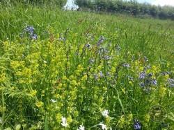 Flowers Of Rough Grassland Bluebell Crosswort