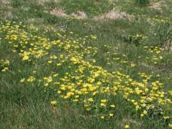 Flowers Of Rough Grassland Celandine