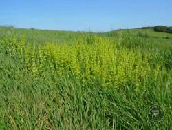 Flowers Of Rough Grassland Crosswort