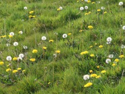 Flowers Of Rough Grassland Dandelion