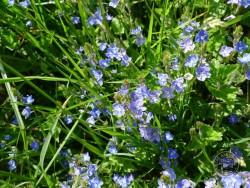 Flowers Of Rough Grassland Germander Speedwell