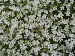 Flowers Of Rough Grassland Greater Stitchwort 3