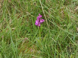 Flowers Of Rough Grassland Orchid